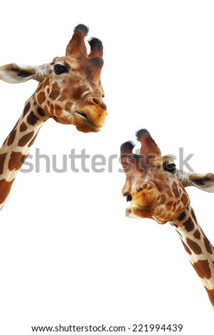 Couple of giraffes closeup portrait isolated on white background  - stock photo