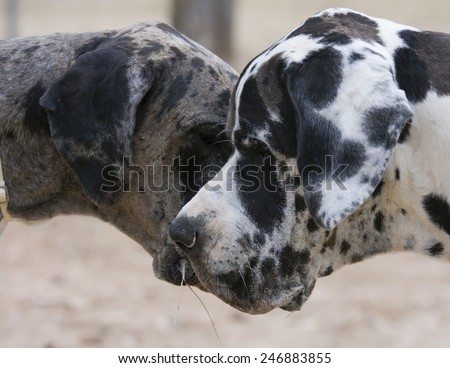 couple of great danes, profile heards. forming a heart with their heads. love animal - stock photo