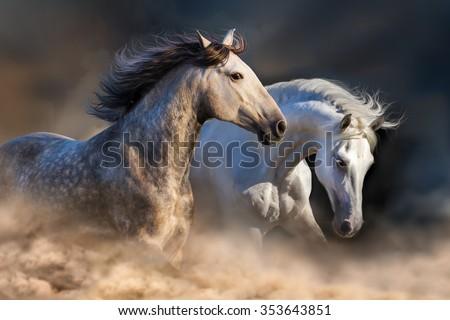 Couple of horse run in dust at sunset light - stock photo