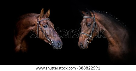 Couple of horses isolated on black web banner