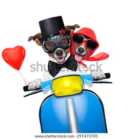 couple of just married jack russell dogs driving a funny motorbike vespa  for vacation holidays and honeymoon, isolated on white background - stock photo