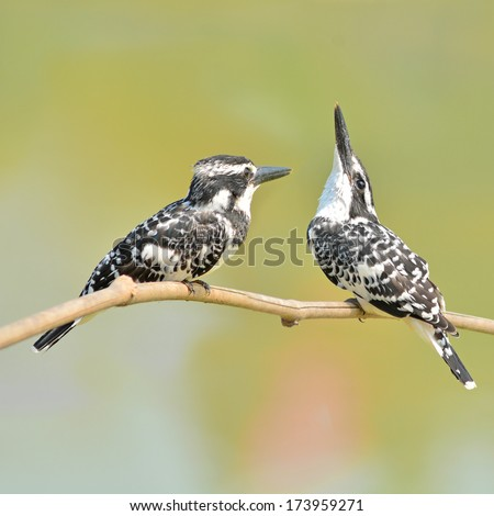 Couple of kingfisher bird (Pied kingfisher, Ceryle rudis) perching on a branch - stock photo