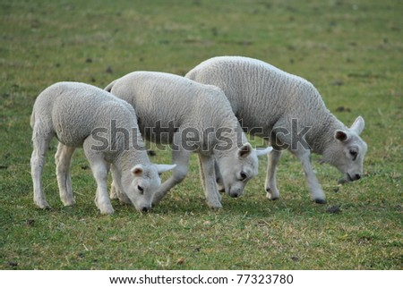 Couple of lambs in spring pasture