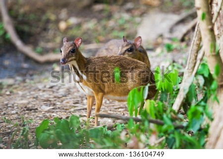 Couple of Lesser Mouse Deer in Forest - stock photo