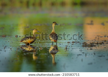 Couple of Lesser whistling duck( Dendrocygna javanica) in nature of Thailand - stock photo