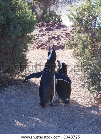 Couple of magellan penguins in Punto Tombo (Argentina). - stock photo