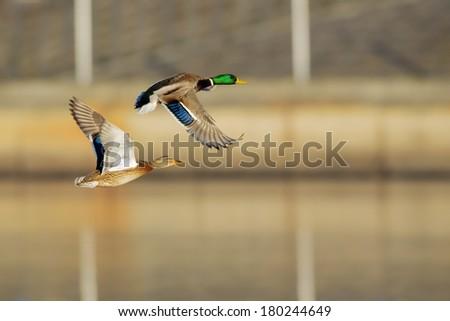 Couple of Mallard Ducks in flight over urban landscape. - stock photo
