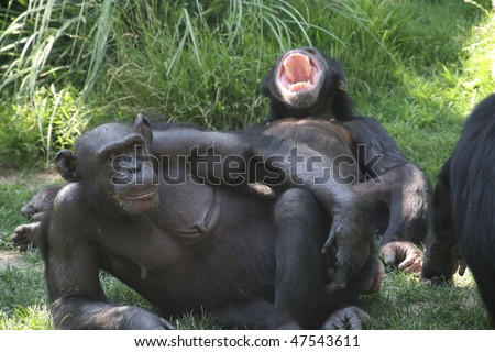 couple of monkeys, one looking, the other yawning