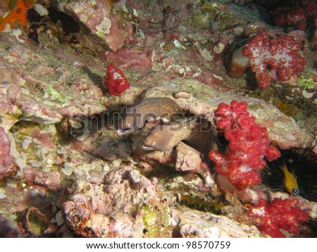 Couple of Moray eels, the cosmopolitan eels of the family Muraenidae. South Andaman Sea. - stock photo