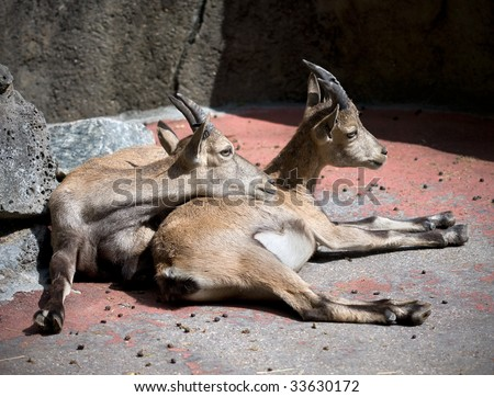 couple of mountain goats in zoo of Amsterdam - stock photo