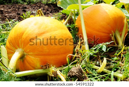 Couple of pumpkins in a farm field - stock photo