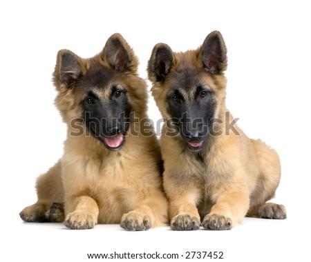 Belgian Tervuren Puppies
