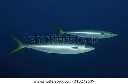 COUPLE OF RAINBOW RUNNER SWIMMING ON BLUE WATER - stock photo