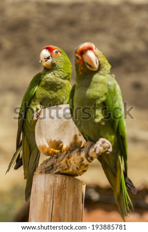 couple of red crowned parrots eating corn at Ccochahuasi zoo - stock photo