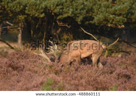 Couple of red deers with does and buck on moorland on National Park Hoge Veluwe in September.