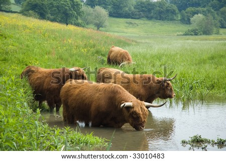 Couple of Scottisch highland steers drinking water in Holland - stock photo