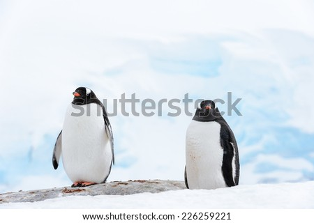 Couple of serious gentoo penguins on the snow - stock photo