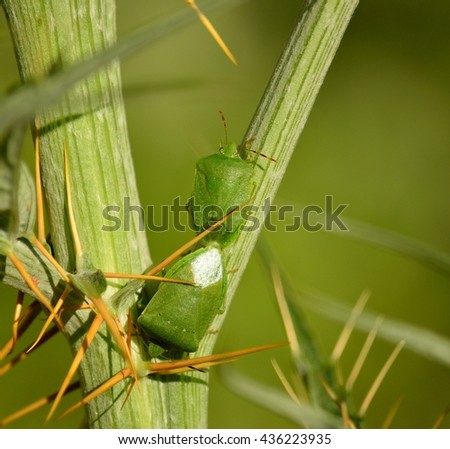 Couple of small green bugs in mating ritual among branches of wild artichoke, Nezara viridula  - stock photo