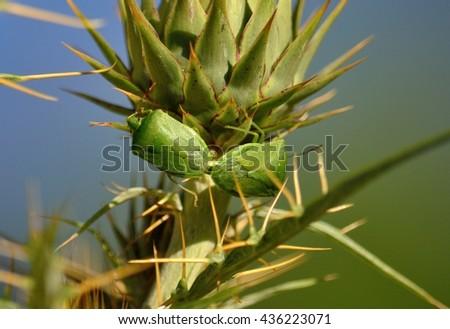 Couple of small green bugs in mating ritual on flower head of wild artichoke before flowering, Nezara viridula  - stock photo