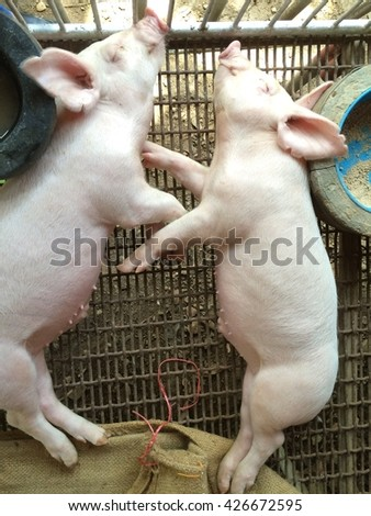Couple of small piglet sleeping in the farm