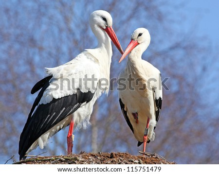couple of storks on the nest - stock photo