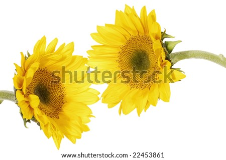 Couple of sun flower