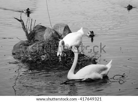Couple of swans building a nest at the lake and three curious ducks. Cloudy day. Family planning concept. Black and white photo.  - stock photo