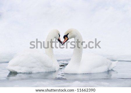Couple of swans forming in water forming heart - stock photo