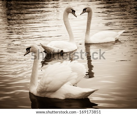 Couple of swans in love and the rejected lover. Selective focus on the couple. Sepia. Shadowed angles. - stock photo