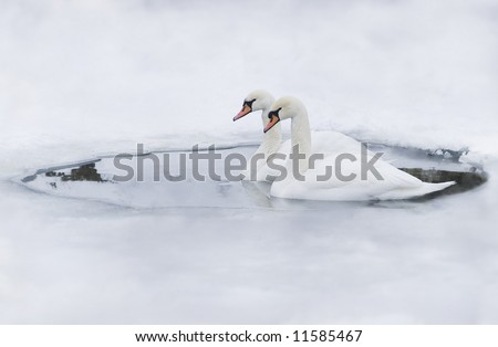 Couple of swans in the ice-hole of a frozen lake - stock photo