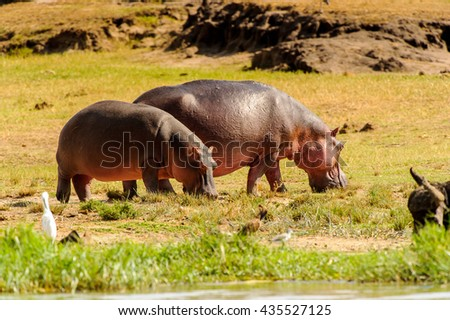 Couple of the hippopotamus stay and eat together
