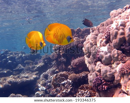 Couple of the Red sea raccoon butterflyfish peacefully swimming around the corals - stock photo