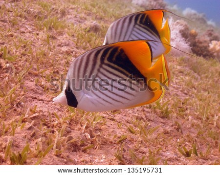 Couple of the Threadfin butterflyfishes (Chetodon auriga) eating on the sea-grass bottom in beautiful shallow lagoon - stock photo