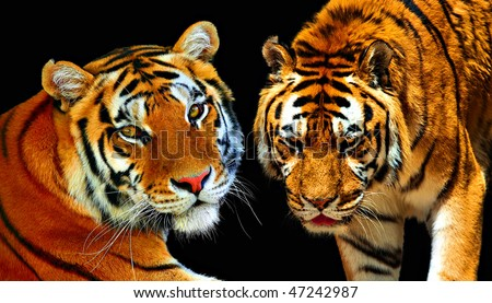 Couple of tigers (isolated) - stock photo