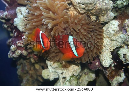 """Couple of Tropical fishes, underwater life of the exotic seas (Amphiprion frenatus, """"nemo"""", klown-fish ) - stock photo"""
