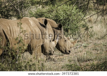 Couple of white rhinos walking in the bushes of South Africa.