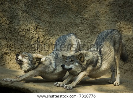 Couple of wolfs stretching after a nap - stock photo