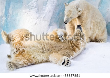 Couple of young polar bears taking care of each other - stock photo