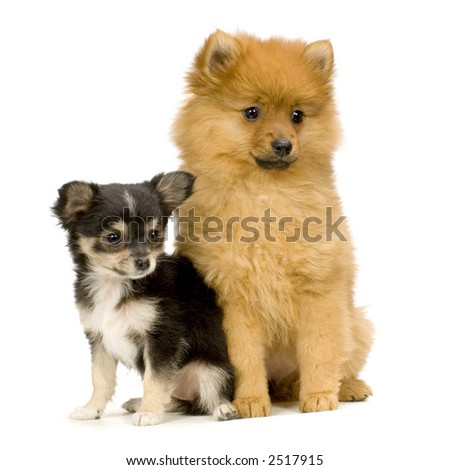 couple one long haired chihuahua and a spitz in front of a white background