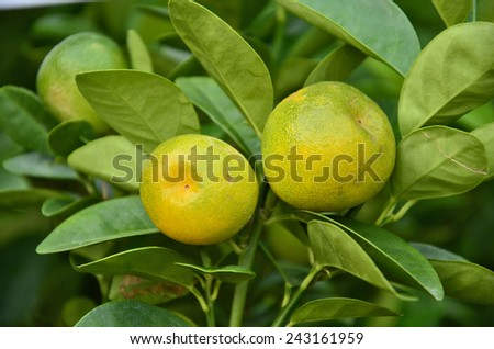 Couple oranges on the tree