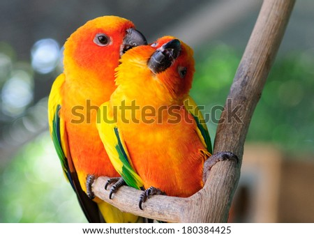 couple parrot  Male and Female - stock photo