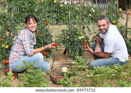 Couple picking tomatoes - stock photo