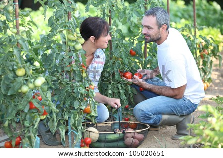 Couple picking vegetables - stock photo