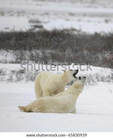 Couple. Polar bears play. Snow-covered tundra. It is snowing. - stock photo