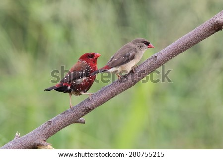 Couple red munia