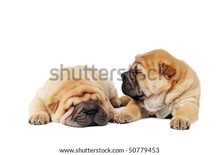 couple small purebred lying beige sharpei puppy isolated on white