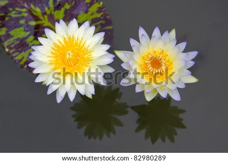 Couples white lotus flower and reflection