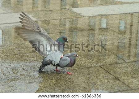 coupling pigeon - stock photo