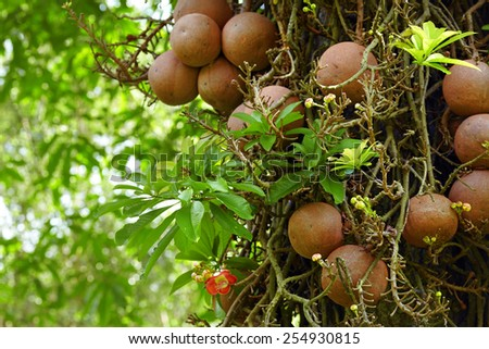 Couroupita guianensis known as cannonball tree in Royal botanic gardens. Peradeniya, Sri-Lanka - stock photo