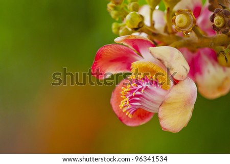 Couroupita guianensis, whose common names include Ayahuma and the Cannonball Tree, is an evergreen tree allied to the Brazil Nut (Bertholletia excelsa) - stock photo